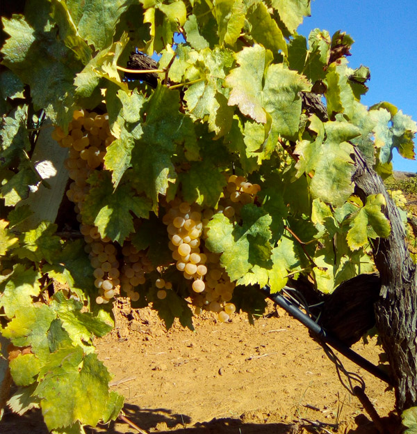 Vino Siciliano - Biologica Stellino